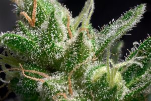 trichomes macro. cannabis indica bud flower close up